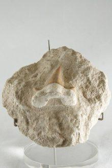 Diente Fósil de Tiburón
