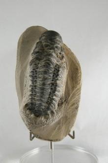 Trilobite Hollardops Mesocristata