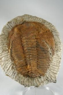 Trilobite Andalusiana