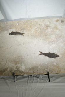 Peces Fósiles