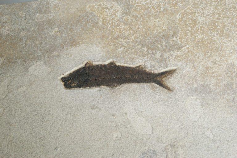 Fósil Pez