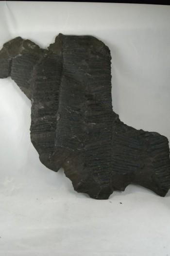 Helechos Fósiles