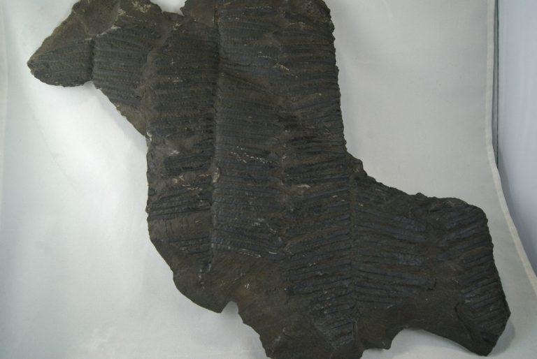 Helecho Fósil