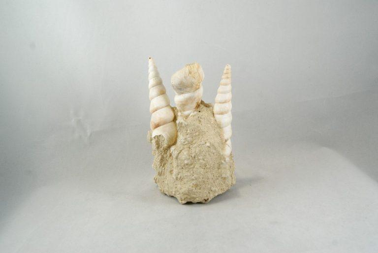 Turritella Fósil