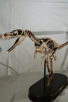 Réplica Esqueleto Velociraptor